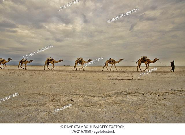 Camel caravans carrying salt through the desert in the Danakil Depression, Ethiopia