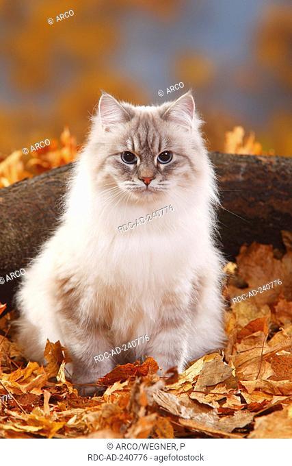 Neva Masquarade blue-silver-tabby-point Siberian Forest Cat Siberian Cat Siberia Neva Masquerade autumn foliage