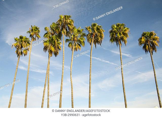 A row of tall palm trees at sunset with a bright blue sky and clouds in the background. San Diego, California, USA
