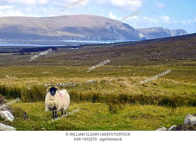 Sheep on Achill Island, with a view towards cliffs at Keel, Achill Island, County Mayo, Ireland