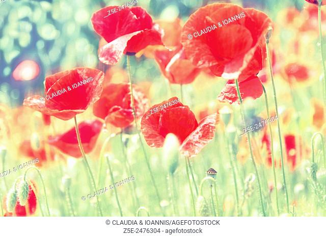 Low angle view of red poppies (Papaver rhoeas)