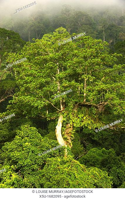View from observation tower near the Maliau Basin Study Centre at dawn  Epiphyte draped tree in the rainforest