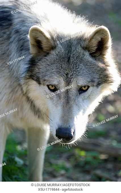 North American timber wolf at the Wolf Science Centre in Ernstbrunn in Austria