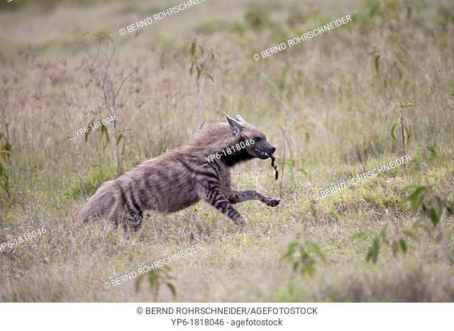 Striped Hyena Hyaena hyaena running in savannah, Lake Nakuru National Park, Kenya