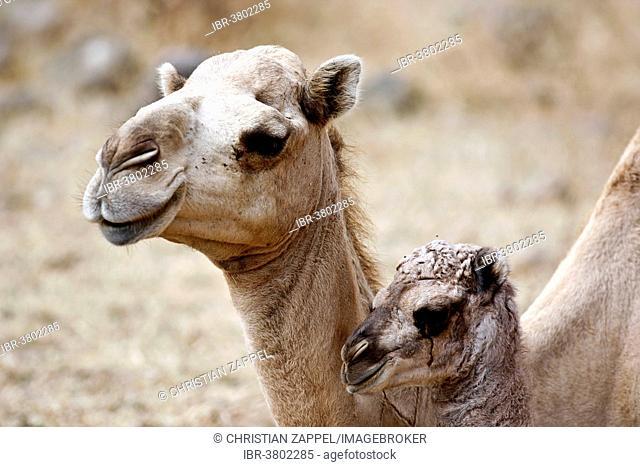 Dromedary or Arabian Camel (Camelus dromedarius) with a calf, Dhofar, Oman