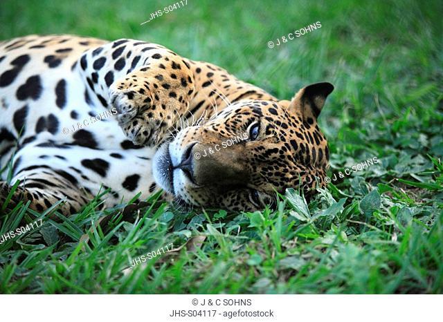 Jaguar,Panthera onca,Pantanal,Brazil,Adult,male,Portrait,lying in grass