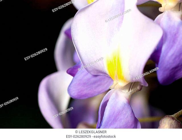 Macro of wisteria violet flower closeup