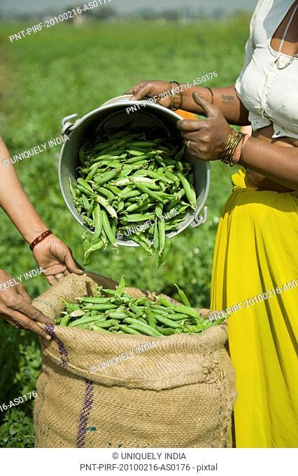 Female farm workers filling green pea pods in a sack, Farrukh Nagar, Gurgaon, Haryana, India