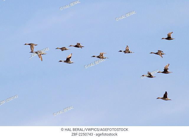 Flock of male and female Northern Pintails Ducks in flight.(Anas acuta).Back Bay Reserve,California