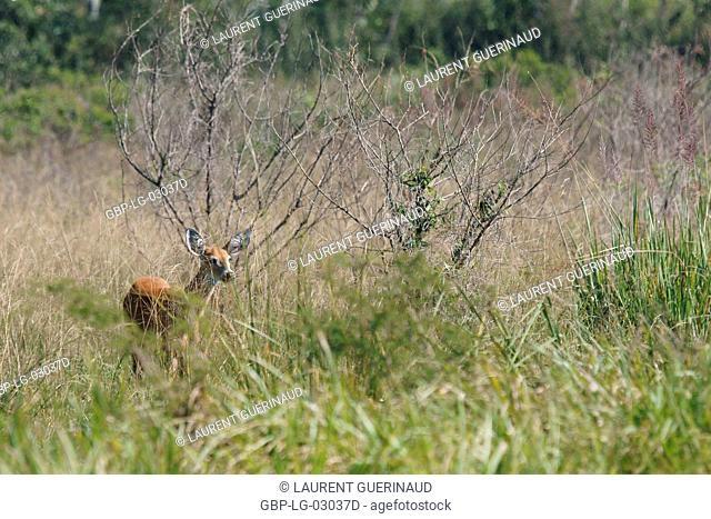 Animal, Deer-pity-swampland, Pantanal, Mato Grosso do Sul, Brazil