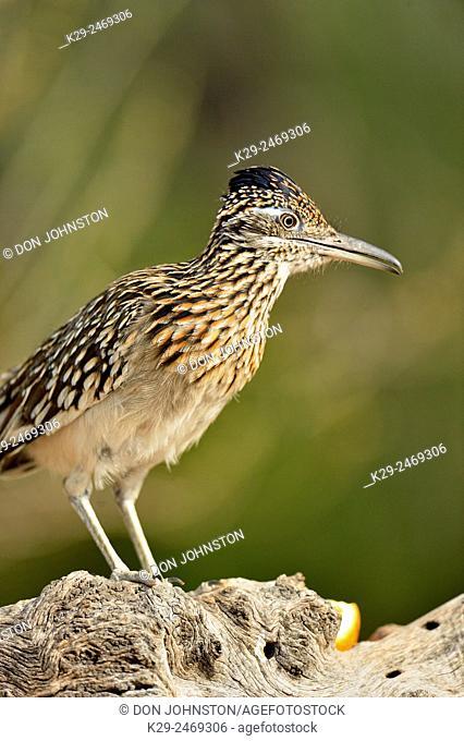 Greater roadrunner (Geococcyx californianus), Rio Grande City, Texas, USA