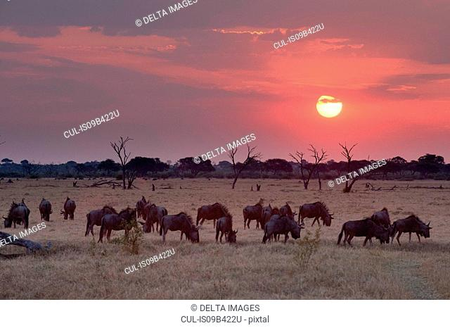 Sunset landscape with herd of grazing wildebeest ( Connochaetes taurinus) , Savuti marsh, Chobe National Park, Botswana