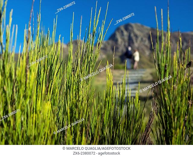 Spanish broom (Spartium junceum) and Les Agudes Peak at background. Montseny Natural Park. Barcelona province, Catalonia, Spain
