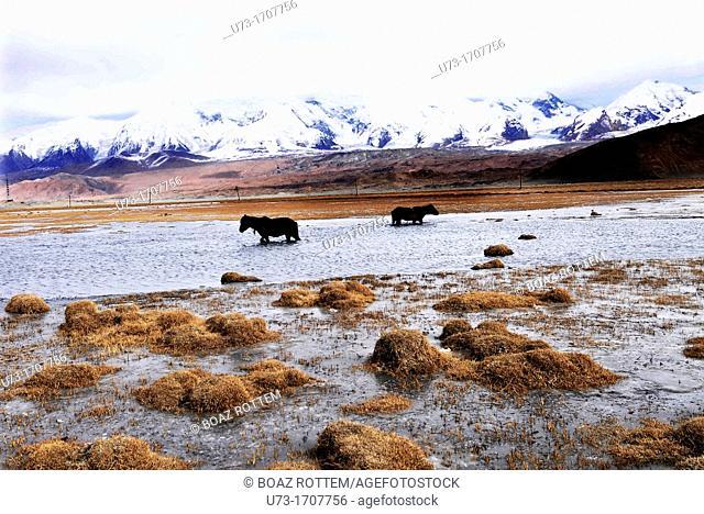 Horses walking through icy water near Karakul lake in the Pamir mountains