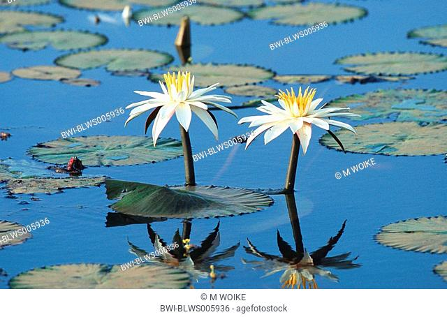 Egyptian water lily, white egyptian lotus Nymphaea lotus, blooming, Senegal, Djoudj NP