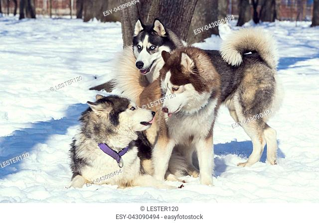 Siberian husky dogs for a walk in the winter park