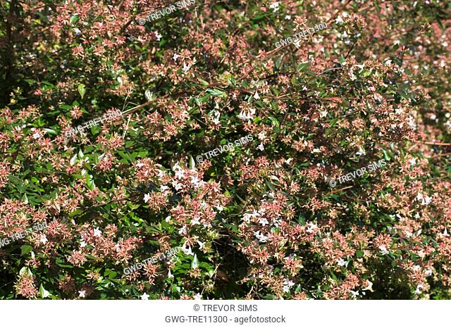 Abelia Chinensis Stock Photos And Images Age Fotostock