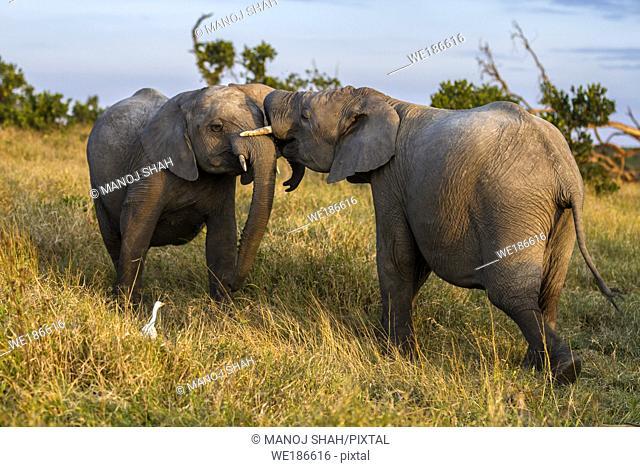 African Elephants play fighting in Ol Pjeta, Laikipia