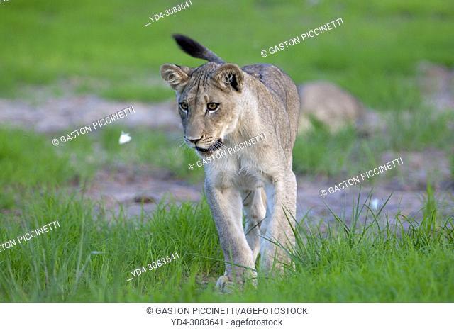 African lion (Panthera leo), rainy season, Kgalagadi Transfrontier Park, Kalahari desert, South Africa.