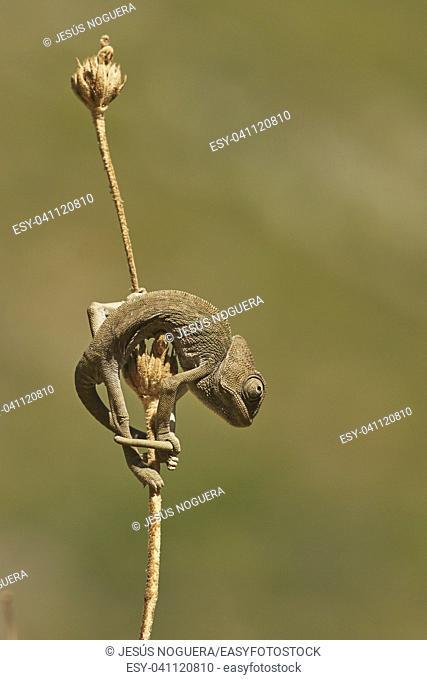 Common chameleon (Chamaeleo chamaeleon). Marbella, Andalusia Spain