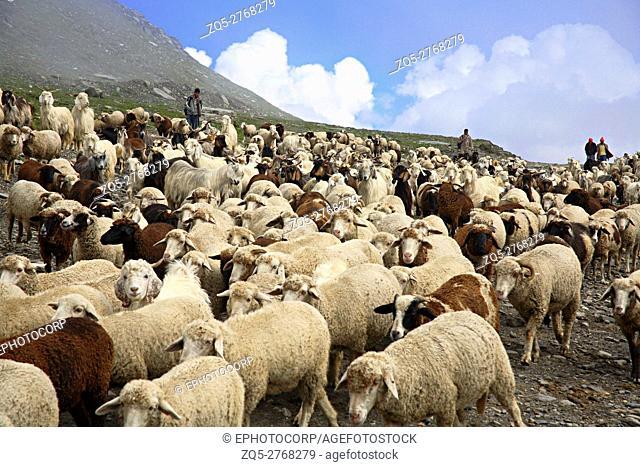 Local goats named as Pashmina (Capra Hircus), at Rohtang Pass at Manali Himachal Pradesh, India