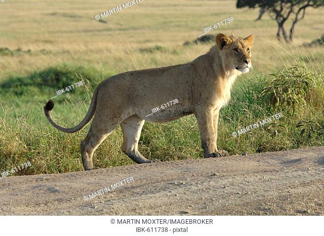 Lioness (Panthera leo) crossing a gravel road, Masai Mara National Reserve, Kenya, Africa