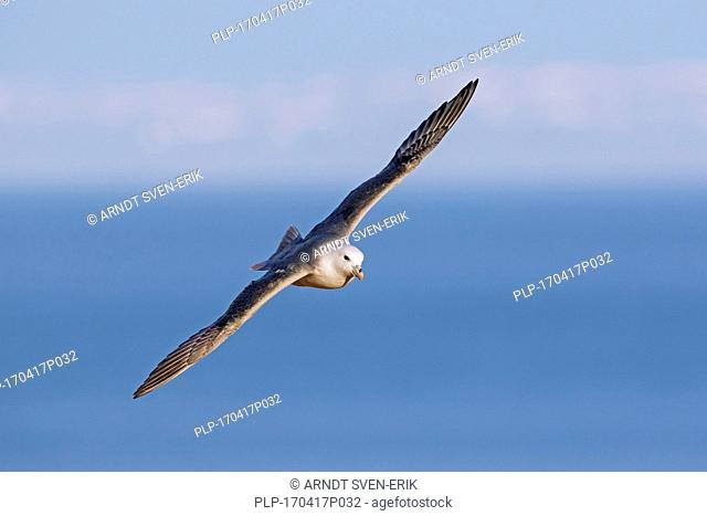 Northern fulmar / Arctic fulmar (Fulmarus glacialis) soaring over the sea