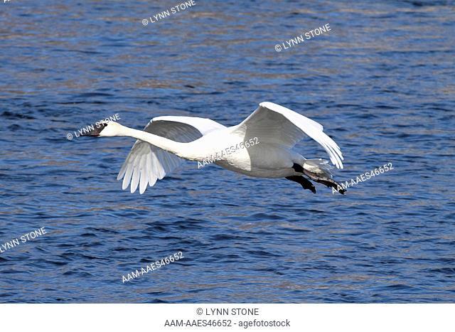 Trumpeter Swan(s) (Cygnus buccinator) in flight over Mississippi River; Minnesota, USA