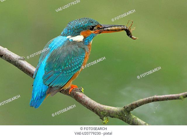 eisvogel, animal, capture, bird, atthis, fish, alcedo