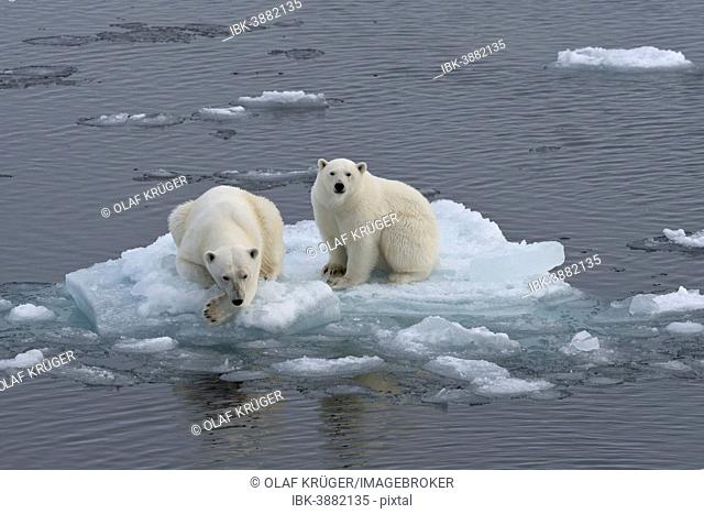 Polar Bears (Ursus maritimus), female and juvenile on an ice floe in the pack ice, Spitsbergen Island, Svalbard Archipeligo, Svalbard and Jan Mayen, Norway