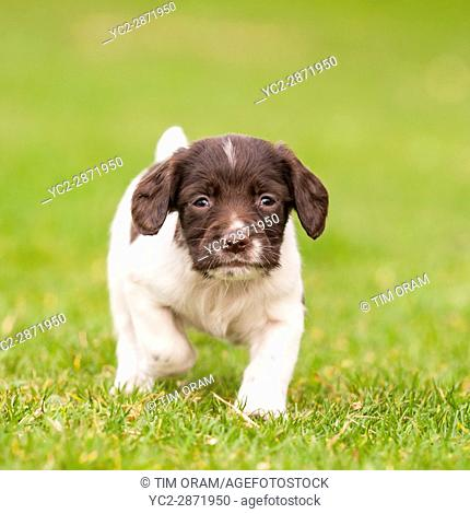 An English Springer Spaniel puppy at 6 weeks old exploring the garden