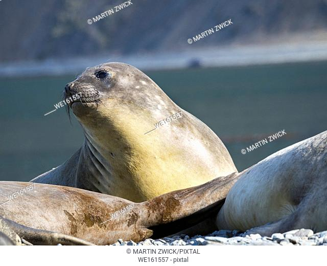 Southern elephant seal (Mirounga leonina), female. Antarctica, Subantarctica, South Georgia, October