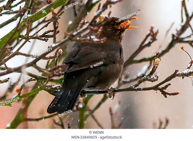 A Blackbird feeds in a garden in north London during snowfall in the capital as Storm Emma and The Beast from the East have combined to create freezing...