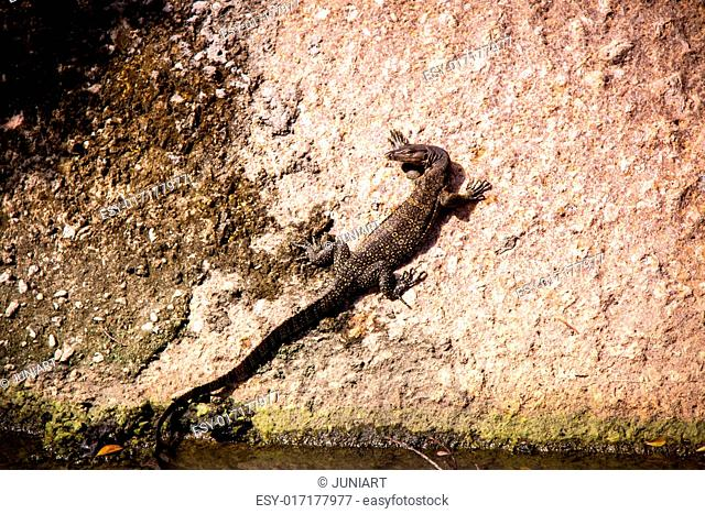 Side view of a small monitor lizard sunning on a ledge to maintain its body temperature
