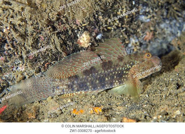 Beautiful Goby (Exyrias bellismus), Banda Neira Jetty dive site, Ambon, Maluku (Moluccas), Indonesia