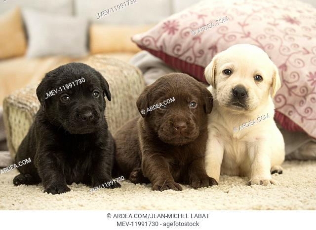 Three Labrador Dog puppies