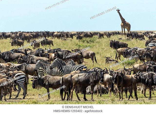 Kenya, Masai Mara national reserve, wildebeest (Connochaetes taurinus), migration and giraffes