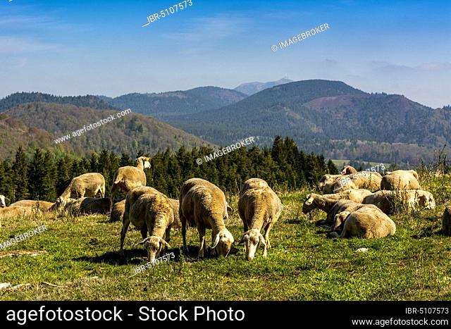 Pastoralism in the regional natural park of Auvergne volcanoes, Unesco world heritage, Puy de Dome department, Auvergne-Rhone-Alpes, France, Europe
