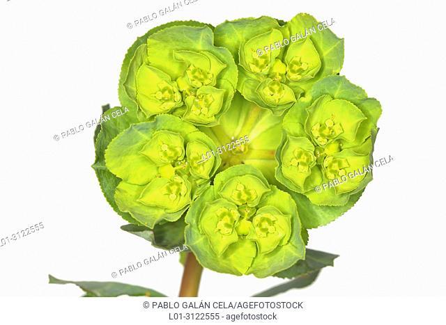 Euphorbia helioscopia on white background