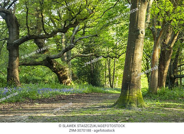 Spring afternoon in a West Sussex woodland, England