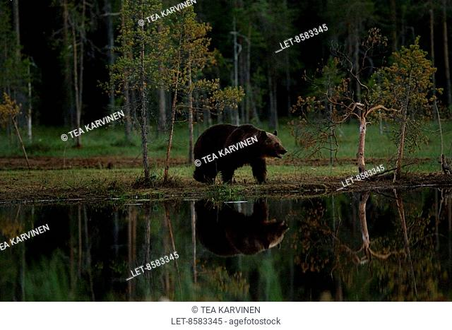 A bear comes to look for food at around 11 p.m. inside the frontier zone in the Kuhmo wilderness, in Finland