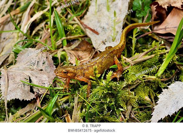 Montandon's newt, Carpathian newt (Lissotriton montandoni, Triturus montandoni), female on the way to the spawning pond, Romania, Karpaten