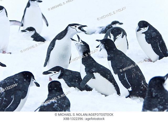 Chinstrap penguin Pygoscelis antarctica colony in a snowstorm on Half Moon Island near Livingston Island in the South Shetland Islands near the Antarctic...