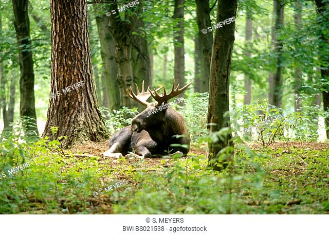elk, European moose (Alces alces alces), lying bull moose in a forest, Germany
