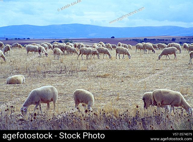 Flock of sheep. Sierra de Ayllon, Segovia province, Castilla Leon, Spain
