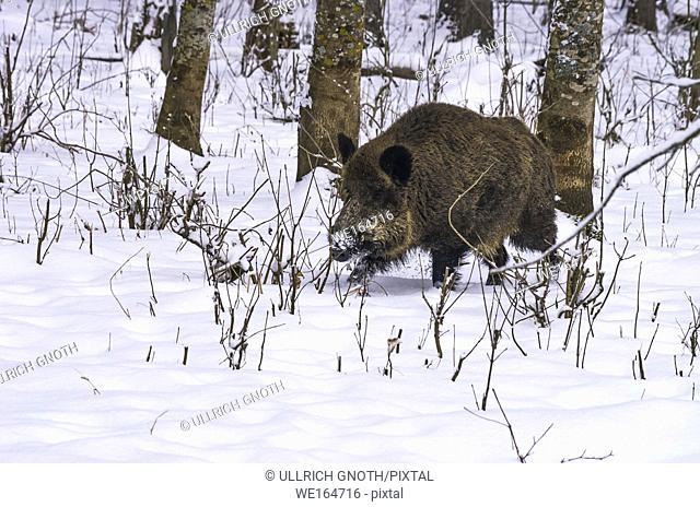 Wild pig) in a snowy wintery forest, Swabian Alb, Germany