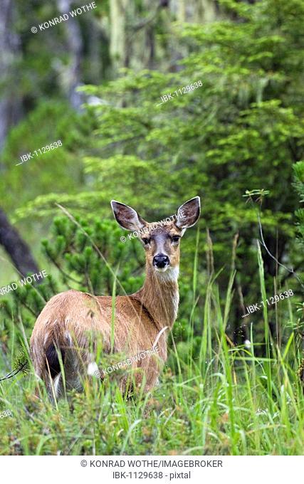 Sitka Black-tailed Deer (Odocoileus hemionus), female, Mitkof Island, Southeast Alaska, Alaska, USA, North America