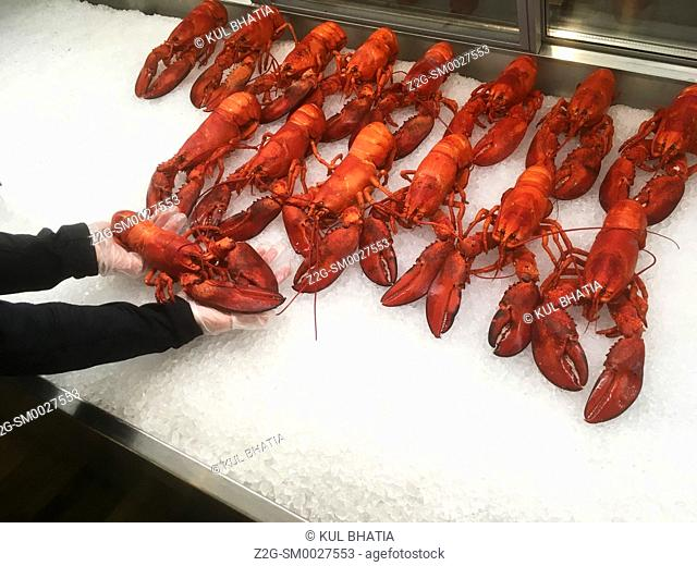 A staff person puts freshly boiled lobsters on a bed of ice in a showcase at the Halifax airport, Nova Scotia. Raw lobsters come in many bluish greenish shades