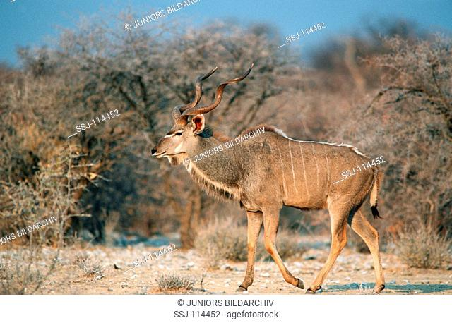 greater kudu - male - walking / Tragelaphus stresiceros