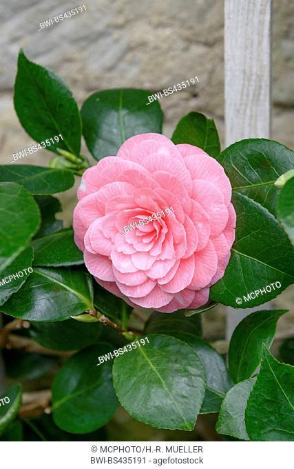 Japanese camellia (Camellia japonica 'Saccoi', Camellia japonica Saccoi), cultivar Saccoi